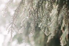 000715430035-1 (Nai.) Tags: pine tree nature green bokeh lights pentaxmz3 fujiindustrial100 富士業務用100 analogphotography filmphotography 135film 35mmfilm pentaxsmcf50mm17 closeup