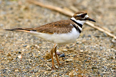 Killdeer_01 (DonBantumPhotography.com) Tags: wildlife nature birds animals killdeer donbantumphotographycom donbantumcom