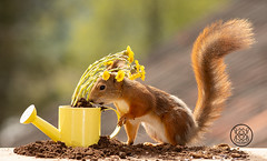 Red squirrel holding a watering can with coltsfoot (Geert Weggen) Tags: squirrel camera red animal backgrounds bright cheerful close color concepts conservation culinary cute damage day earth environment environmental equipment love valentine flower photo bouquet wheelbarrow tussilagofarfara coltsfoot wateringcan caster wateringpot moulder molder watercan geert weggen hardeko bispgården ragunda sweden jämtland