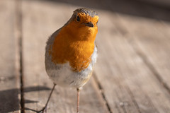 Robin (jillyspoon) Tags: sonya7iii sigmamc11 canononsony 4omm pancakelens gardenbird therhs rhs harlowcarr sony bird robin
