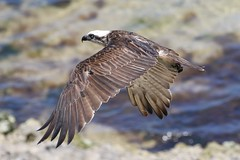 eastern osprey (Pandion cristatus) (johnedmond) Tags: perth westernaustralia osprey raptor birdofprey bird wildlife nature canon eos7d 7dmkii 100400mm ef100400mmf4556lisiiusm