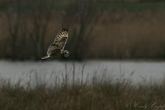 Short Eared Owl-2753 (WendyCoops224) Tags: 100400mml 80d fens winterwatch canon eos ©wendycooper short eared owl asio flammeus