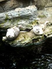 Sleeping (Clara - Clerss Malisha) Tags: foche seals acquariodigenova marineanimals marinebiology love sleep genoa genova liguria italy northitaly animals animal