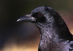 Crow portrait (Robyn Waayers) Tags: americancrow corvusbrachyrhynchos crow crows robynwaayers