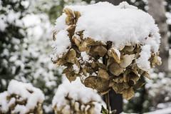 L'amore e la neve sono uguali (Marci's) Tags: love amore giacalone neve2019 palermo gelo ortensia snow freddo neve