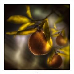 Tangerine dream ... (michel di Méglio) Tags: orange tangerine light lumière fruit agrumes marseille