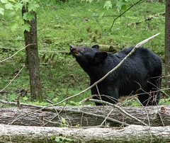 DSC_5333-2 (TDog54Photography / TCS Photography) Tags: black bear bears smoky mountains tennessee cades cove wildlife wild life animal american north america ursus americanus animals forest national park great