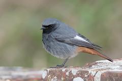 Black Redstart-272 (davidgardiner8) Tags: birds blackredstart chats robins shorehamfort westsussex