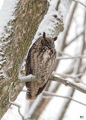 ''La maître!'' grand-duc d'Amérique-Great horned owl (pascaleforest) Tags: oiseau bird animal passion nature nikon owl hibou wild widlife faune québec canada winter hiver 2019