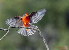 Vermilion Angel! (Patrick Dirlam) Tags: birds landbirds vermillion flycatcher