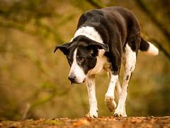 Zac in January (grahamrobb888) Tags: zac pet dog animal mammal birnamwood d500 nikon nikond500 nikkor afnikkor80200mm128ed clydes friends clydesfriends