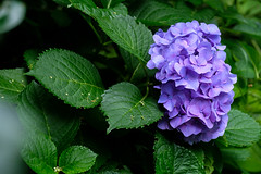 From back to front hydrangea (Sal Tinoco) Tags: blue flora flower green hydrangea hydrangeas leaf nature outside petal purple fantasticflower