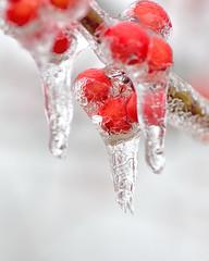060601032019 (bassgal71/Sarah Rodefeld) Tags: oklahomaicestormjanuary32019 sarahrodefeld ice icestorm winter mac 100mmf28atxm100afprodmacro oklahoma maudoklahoma nikon wilderness