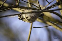 An acrobatic Long-tailed tit. (vickyouten) Tags: longtailedtit nature wildlife britishwildlife wildlifephotography nikon nikond7200 nikonphotography sigma sigma150600mm penningtonflash leigh uk vickyouten