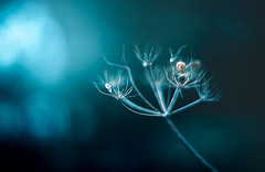 out in the cold (Simon[L]) Tags: lonesome chill cold dark blue branch seeds plant reautotopcor58mmf18 remains