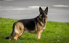 (seua_yai) Tags: germanshepherd dog northamerica california sanfrancisco thecity seuayai sanfrancisco2019