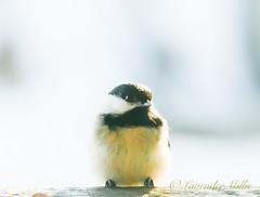 Chickadee (LavenderMillie) Tags: chickadee alberta hippiehollow sweet highkey light lavendermillie2019 outside nature bird