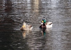 Two ducks (EcoSnake) Tags: ducks mallards waterfowl wildlife water winter february idahofishandgame naturecenter