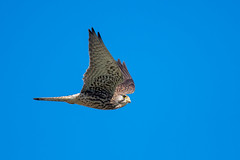 Common Kestrel (tokinotamao) Tags: 01野鳥 チョウゲンボウ 岩岡町 神戸市 西区 兵庫県 日本 jp
