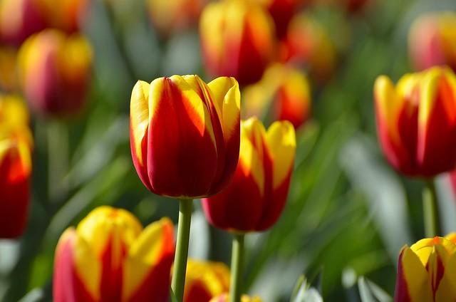Обои тюльпаны, бутоны, пестрый картинки на рабочий стол, раздел цветы - скачать