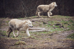 725A8849 (regisfiacre) Tags: parc animalier sainte croix saintecroix rhodes moselle france zoo animal animaux canon 5div mark iv 4 plein format full frame 100400mm is l loups loup arctique arctic blanc weiss white wolf wolves