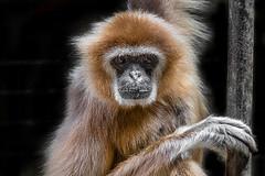 Animal Portraits - Gibbon (KWPashuk (Thanks for >3M views)) Tags: nikon d7200 tamron tamron18400mm lightroom luminar luminar2018 luminar3 kwpashuk kevinpashuk gibbon ape primate animal portrait nature wildlife toronto zoo ontario canada torontozoo