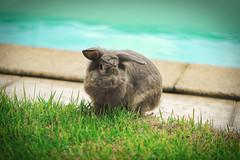 Yard Bunny (Vinicius Z Mattoso) Tags: bunny yard grass nature pool daylight