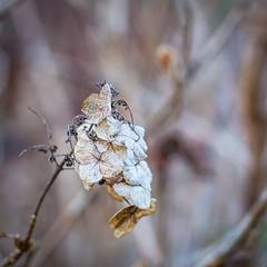 Day 48 of 365 - Outside (gcarmilla) Tags: flower fiore inverno winter outside bokeh