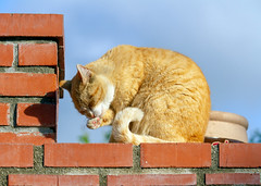 Freddie on the wall (suzeesusie) Tags: cat kitty pet animal furry grooming wall outdoors brick