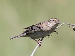 Grasshopper Sparrow (Ammodramus savannarum) 06-21-2016 Fort Niobrara NWR, Cherry Co. NE 4 (Birder20714) Tags: birds nebraska sparrows emberizidae