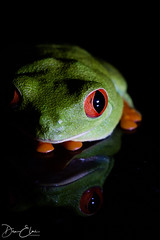Red Eye Tree Frog (Dan Elms Photography) Tags: treefrog redeyetreefrog frog reptile reptiles canon macro reflection danelms danelmsphotography 5d wwwdanelmsphotouk