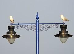 Lightly Balanced - Blyth (Gilli8888) Tags: blyth northumberland nikon p900 coolpix harbour staithes port portofblyth birds waterbirds northsea northeast seagulls gulls two streetlights