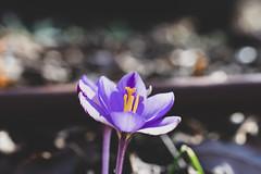 arboretum (valerie something or other) Tags: flower winter raleigh carolina arboretum purple