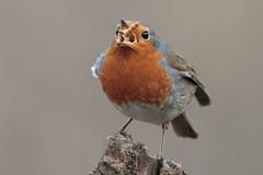Al volo!!!!! (Marcello Giardinazzo) Tags: robin avifauna pettirosso uccelli birds natura