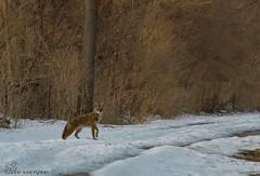 Coyote. (Estrada77) Tags: coyote furrycreatures mammals animals wildlife winter2019 outdoors nature foxriver kanecounty illinois nikon nikond500200500mm