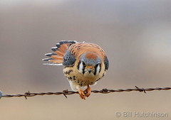 February 14, 2019 - A male American kestrel strikes an agressive pose.  (Bill Hutchinson)