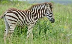 Burchell's Zebra (Equus quagga burchellii) foal ... (berniedup) Tags: burchellszebra equusquaggaburchellii isimangaliso zebra taxonomy:trinomial=equusquaggaburchellii equusquagga taxonomy:binomial=equusquagga
