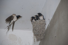 Swallows (iron_doji) Tags: swallows swallow nest eat amazing georgia kutaisi photo beautiful nikond90 18135mm birds bird nature