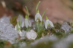 breakThrough (tobias-eger) Tags: winter macro garden flower snail snowdrop snow plant shell makro pflanze blume schneeglöckchen schneckenhaus schnee garten