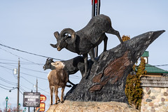 Radium Hot Springs, British Columbia, Canada - Janurary 20, 2019: A confused bighorn sheep baby ewe stands on top of a statue of Bighorn sheep, confused, thinking the animals are real. (m01229) Tags: rock ram cute mammal kootenaynationalpark brown confusedanimals animal ovis bighorn wild canadensis outdoors silly horned ungulate lamb sheep horns wildsheep mountains goofy babyanimals funnyanimalphotos wildlife female fur statue horn big canadianrockies nature bighornsheep park animalsinthewild bighorninourbackyard ewe mountain