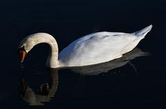gespiegelter Schwan - mirroring swan (Stefan Markus) Tags: nikon nikond7500 tamron tamron70210mmf4divcusd schwan swan stausee reservoir bochum hattingen witten kemnadersee nordrheinwestfalen northrhinewestphalia deutschland germany wasser water spiegelung mirroring