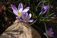 Im Garten tut sich was... (klausi56) Tags: blumen flowers garten gras stein