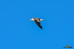 A-LUR_3748 (OrNeSsInA) Tags: aly passignano panicale natura panorami campagma campagna landescape trasimeno nikon canon airone airon cormorano spettacolo birdwatching albero cielo animale mare acqua uccello