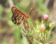 Variable Checkerspot Butterfly, from Last Summer. (Ruby 2417) Tags: checkerspot butterfly insect wildlife nature orange thistle stebbins davis