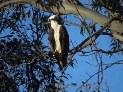 Osprey morning perch in Eucalyptus (stonebird) Tags: osprey pandionhaliaetus ballonawetlandsecologicalreserve ballonacreekestuary eucalyptus areac march img0768