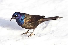 Common Grackle (Anne Ahearne) Tags: wild bird animal nature wildlife snow winter grackle beautiful songbird birdwatching closeup iridescent colorful angrybird commongrackle