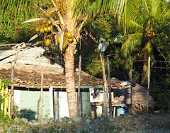 A House for Mr Biswas? No, Rural Holguín Province Cuba Oriente © Provinz Ländlich Kuba Südamerika © (hn.) Tags: cu cub caribbean groseantillen holguin holguinprovince karibik kokosnusspalme kokospalme provinz republicadecuba republik coconutpalm coconutpalmtree coconuttree cocotier copyright copyrighted countryside cuba cycletriphogaguasclarasunasvelascosanandreshog haus heiconeumeyer house kuba ländlich palmtree palme province provinciadeholguin rural tp201901cuba holguín