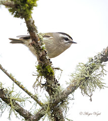 Golden-crowned Kinglet (Angie Vogel Nature Photography) Tags: kinglet bird goldencrownedkinglet wildlife ridgefieldnationalwildliferefuge