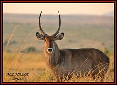 DEFASSA WATERBUCK (Kobous ellipsiprymnus).......MASAI MARA.......SEPT 2018 (M Z Malik) Tags: nikon d3x 200400mm14afs kenya africa safari wildlife masaimara exoticafricanwildlife waterbuck kobousellipsiprymnus ngc npc