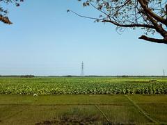 LRM_EXPORT_18188667146075_20190309_125007935 (pm.sohan) Tags: crops tobacco cultivation